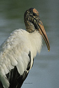 Alligators Photos - Wood Stork in Oil by Deborah Benoit