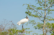 Natural Focal Point Photography - Wood Stork in the Tree
