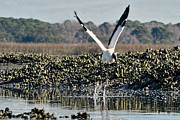 Dan Friend - Wood Stork landing