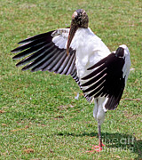Stretching Wings Posters - Wood Stork Poster by Millard H. Sharp