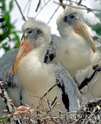 Baby Bird Prints - Wood Stork Nestlings Print by Millard H. Sharp