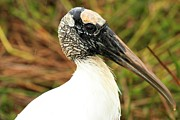 Everglades National Park Posters - Wood Stork Portrait Poster by Adam Jewell