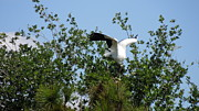Wood Wall Hangings Prints - Wood Stork Print by Ron Davidson