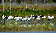 Group Of Birds Originals - Wood Storks all in a Row by Patricia Twardzik