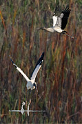 Dan Friend - Wood Storks