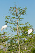 Natural Focal Point Photography - Wood Storks in the...