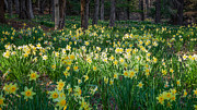 Woodland Scenes Photo Posters - Woodland Daffodils Poster by Bill  Wakeley