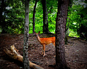Whitetailed Deer Posters - Woodland Deer Poster by Michelle Calkins