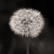 Dandelion Photos - Woodland - Study 5 by David Bowman
