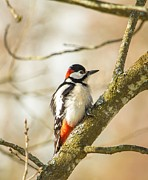 Rose-Maries Pictures - Woodpecker enjoying...