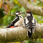 Walnut Tree Photograph Prints - Woodpecker family Print by Izzy Standbridge