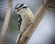 LeeAnn McLaneGoetz McLaneGoetzStudioLLCcom - Woodpecker