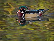 Waterfowl Prints - Woody Print by Susan Candelario