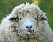Ramona Johnston - Wooly Sheep