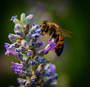 Stinger Prints - Worker Bee Print by Robert Bales