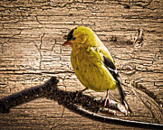 Randall Branham - Wormy Wood American Goldfinch