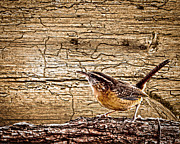 Randall Branham - Wormy Wood Carolina Wren