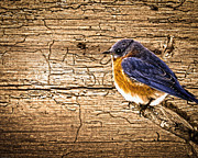 Randall Branham - Wormy Wood Eastern Bluebird