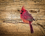 Randall Branham - Wormy Wood Northern Cardinal