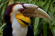 Hornbill Photos - Wreathed Hornbill by Eric Albright