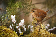 Izzy Art - Wren amongst heather and moss. by Izzy Standbridge