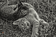 Kittens Photos - Wrestling by Adam Vance