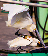 Snowy Night Photos - Wrestling Egrets by Rene Triay Photography
