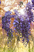 Wisteria Framed Prints - Wysteria Framed Print by Debra and Dave Vanderlaan
