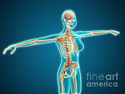 Human Skeleton Art - X-ray View Of Female Body Showing by Stocktrek Images