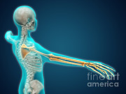 Blue Background Digital Art - X-ray View Of Human Body Showing by Stocktrek Images