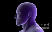 Human Head Digital Art - X-ray View Of Human Face, Profile View by Stocktrek Images