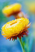 Bracts Framed Prints - Xerochrysum bracteatum - Golden Everlasting - Strawflower - Aste Framed Print by Sharon Mau