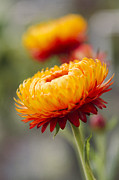 Everlasting Flower Photos - Xerochrysum bracteatum - Golden Everlasting - Strawflower - Asteraceae - Hawaii by Sharon Mau