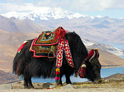 Raising Awareness Prints - Yak near Yamdrok lake Tibet Print by Dennis Jarvis