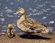 Kenneth Haley - Yakkety Quack