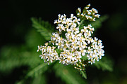 Pepper Greeting Card Prints - Yarrow Flower Print by Christina Rollo