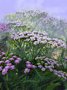 Yarrow In The Mist Print by Diane Schuster