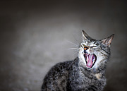 Felines Photo Posters - Yawning cat Poster by Elena Elisseeva