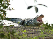 Cay Photos - Yawning Gator at Green Cay Boynton Beach Florida by Michelle Wiarda