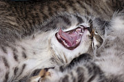 Sleeping Baby Animals Posters - Yawning Kitten Poster by Michal Boubin