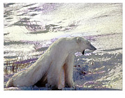 Alice Ramirez Framed Prints - Yawning Polar Bear Framed Print by Alice Ramirez