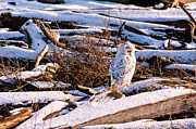 Snowy Photo Prints - Yawning Snowy Owl Print by Ian Stotesbury