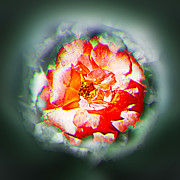 Photomanipulation Originals - Yearning of a dog rose blossom by Li   van Saathoff