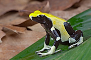 Guyana Prints - Yellow And Black Poison Dart Frog Print by Dirk Ercken