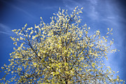 Blossoming Tree Prints - Yellow and blue - blooming tree in spring Print by Matthias Hauser