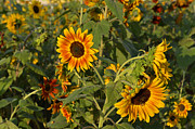 Yellow And Orange Sunflower Prints - Yellow and Orange Sunflowers Print by Roy Thoman
