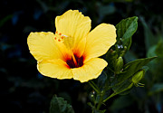 Yellow And Red Prints - Yellow and Red Hibiscus Print by Christi Kraft