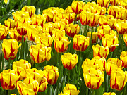 Yellow And Red Prints - Yellow and Red Tulips Print by Sharon  Talson