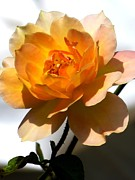 Roses Photo Prints - Yellow and white rose Print by Zulfiya Stromberg