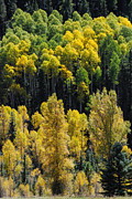 Geobob Metal Prints - Yellow Aspen along the Dolores River on Highway 145 to  Telluride near Rico Colorado Metal Print by Robert Ford